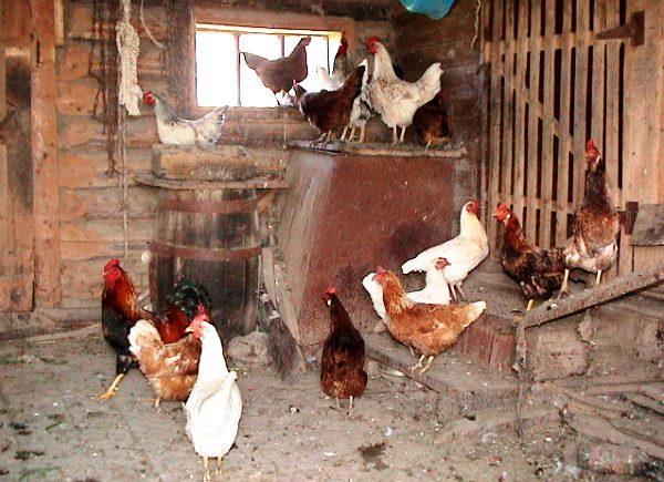 Куры в деревенском курятнике