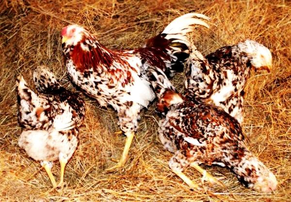 Орловская яичная порода кур