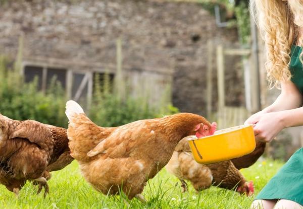 Куры едят корм из миски
