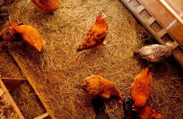 Напольное содержание кур в курятнике