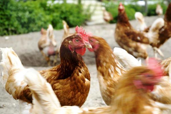 Агрессивные куры могут клевать яйца