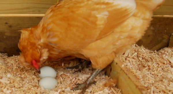 Кура клюет снесенные яйца