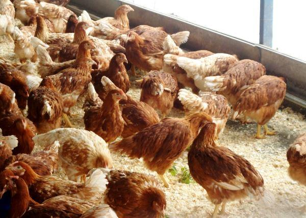 Выращивание кур на яйца