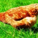Курица несушка клюет траву