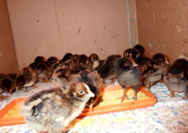 Цыплята породы кур Барневельдер