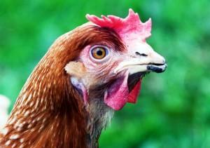 Обрезка клюва у домашней птицы