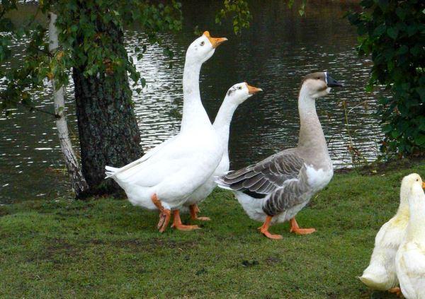 Территория для выращивания гусей