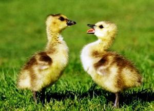Определение пола маленьких гусят