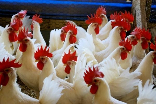 Здоровое стадо домашней птицы