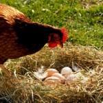 Курица клюет свои яйца