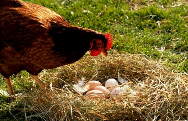 chicken egg essay An answer to the fundamental question read the essay free on booksie.
