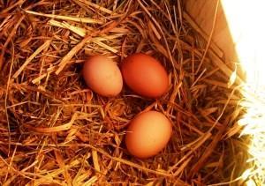 Гнездо для курицы несушки