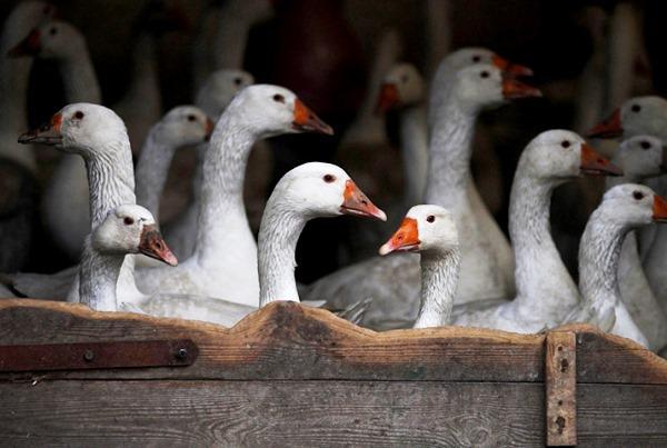 Помещение для содержания гусей