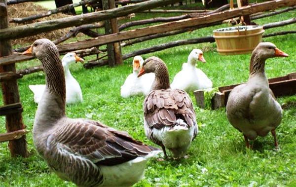 Содержание гусей на приусадебном участке