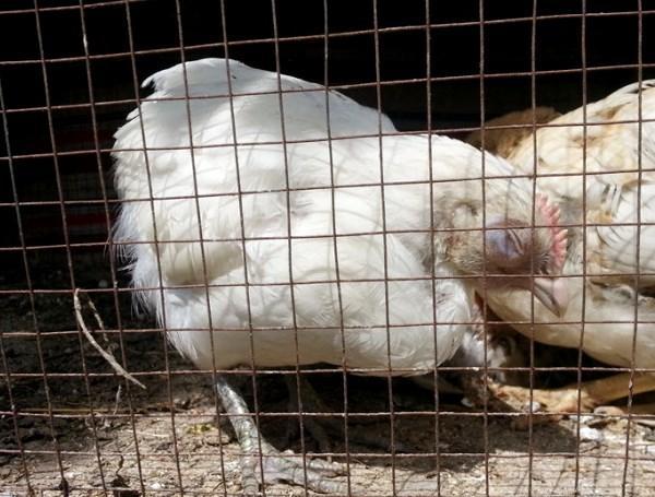 Изоляция больных кур от стада