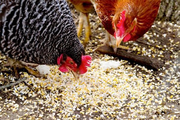 Кормление кур зерновой смесью