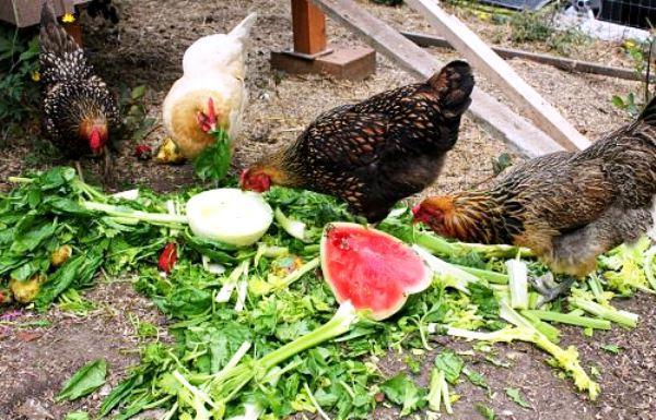 Куры клюют зеленый корм