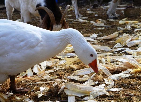 Осенний рацион для гусей