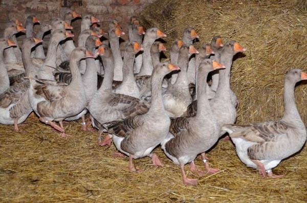 Как в домашних условиях разводить гусей в