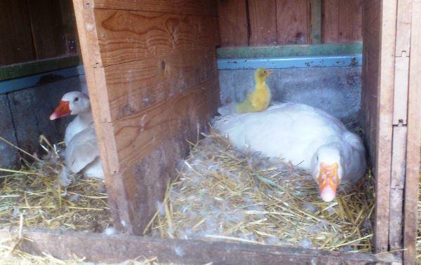 Гусыни высиживают яйца в гнезде