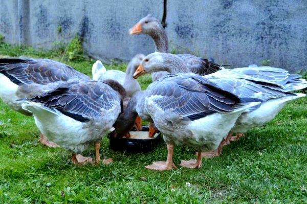 Чем кормить взрослых гусей