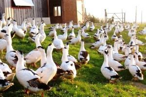 Содержание домашней водоплавающей птицы