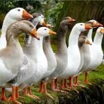 Разведение гусей в хозяйстве