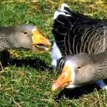 Выращивания мясных пород птицы