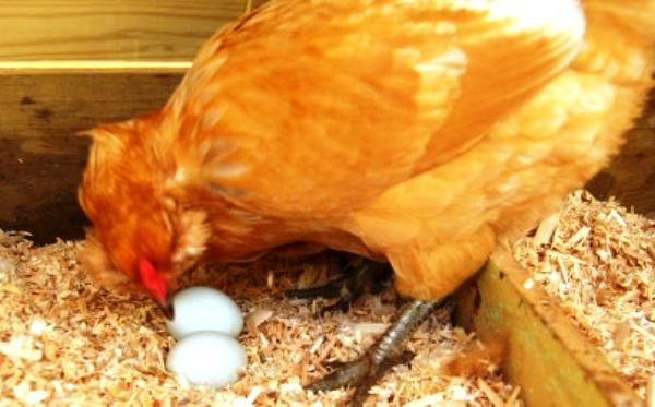 Как сделать чтобы куры не садились на яйца