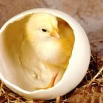 Как происходит оплодотворение яйца