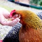 Кормление домашних кур несушек