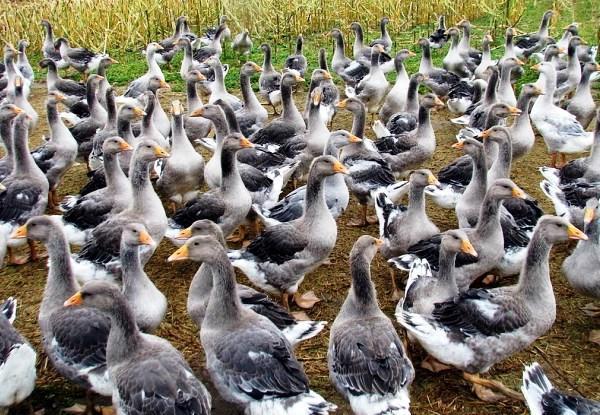 Разведение гусей на продажу
