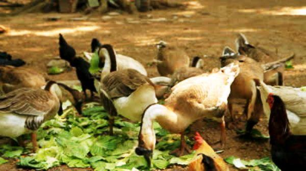 Овощи в рационе птицы