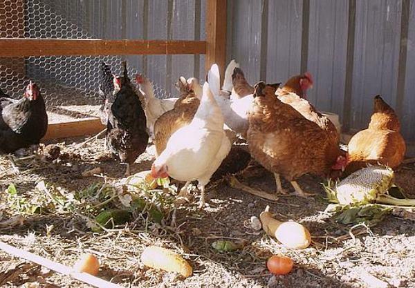 Овощи в рационе домашней птицы