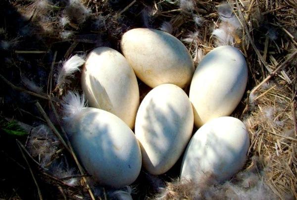 Яйца, снесенные в гнезде