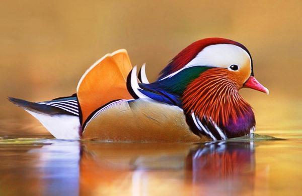 Необычно красивая порода уток