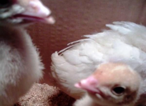 Обрезка клюва у птенцов