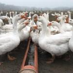Гусеводство на домашней ферме
