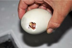 Проклевывание птенцов утки из яиц