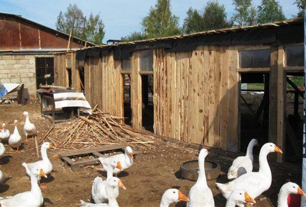 Домашнее содержание водоплавающей птицы