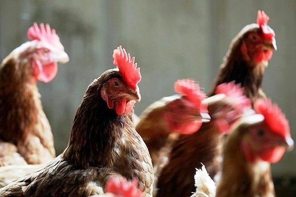 Инфекционные заболевания у куриц