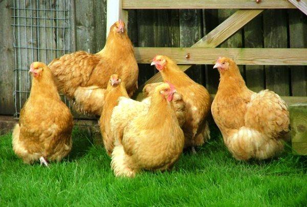 Содержание мясных пород кур