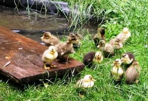 Как выращивать водоплавающую птицу