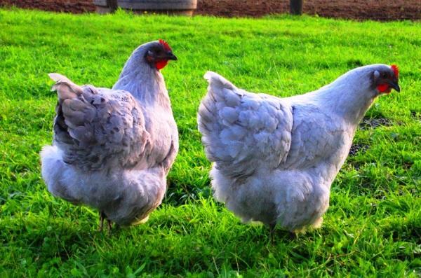 Голубые курицы породы Орпингтон
