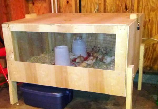 Подращивание птенцов в брудере