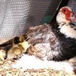 Насиживание яиц мускусными утками