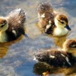 Утята плавают в озере