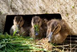 Зеленый корм для птицы