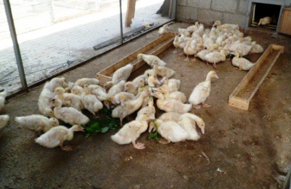 Кормление и выращивание утят мулардов в домашних условиях 18