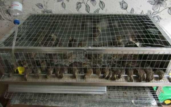 Птенцы перепелов в секции, сделанной своими руками